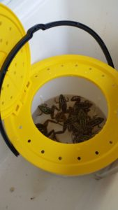 The Frabill Fish-N-Fun (4600) Bucket makes it easy to keep frogs for bait.
